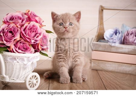 Cat background. Images for a calendar with cats. Cyamine color Scottish Fold Cat
