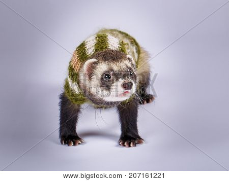 Young cute sable ferret dressed, close up