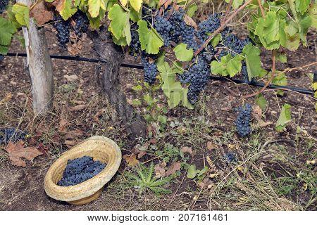 Vine Vineyard Straw Hat Full Grapes Syrah