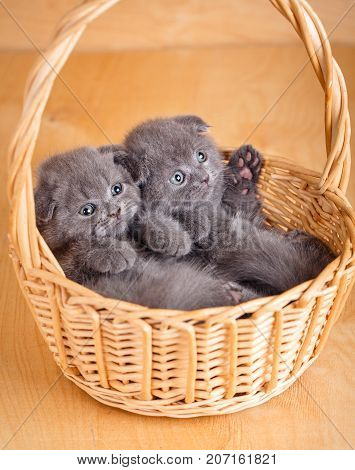 Adorable small kittens in wicker basket. Scottish Fold Cats