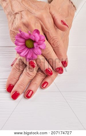 Elderly woman manicured hands. Female hands with red manicure and little pink chrysanthemum, white wooden background. Old woman hands with beautiful red nails.