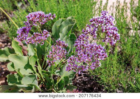 A Fresh sea lavender (Limonium perezii) flowers