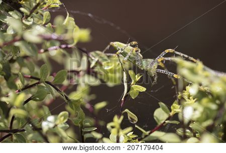 Bright green plant spider perched on Silversheen branches and leaves