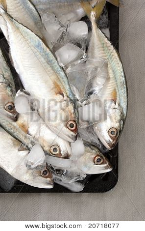 Indian Mackerel on Ice