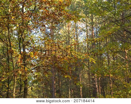 autumn orange yellow deciduous tree forest in sun light warm colors