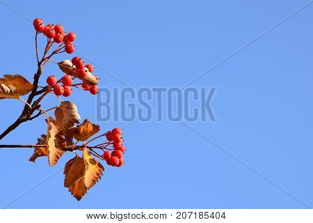 Red hawthorn berries on blue sky background