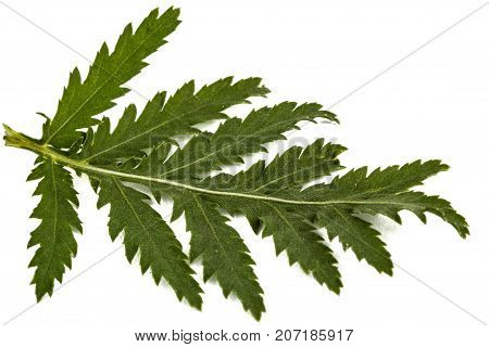 Leafs The Medicinal Plant Of Tansy, Lat. Tanacetum Vulgare, Isolated On White Background