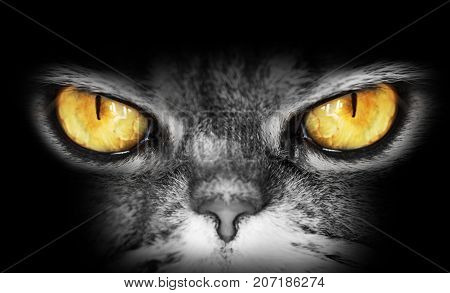 dark portrait of a cat with yellow eyes looks into the camera a dangerous evil look owl