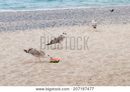 Birds Albatrosses Eat Watermelon On The Seafront