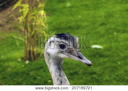 Wild Rhea - South American ostrich / Patagonia