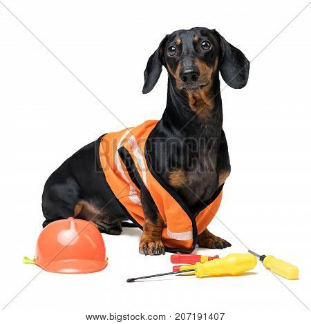 Dog builder dachshund in an orange construction helmet with various construction tools (screwdriver pliers) isolated on white background
