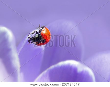 ladybird in the beautifull violet saffron in garden