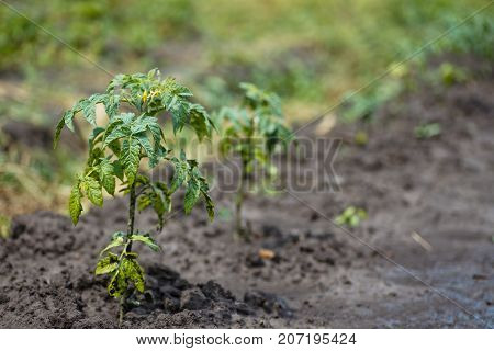 Tomato, Solanum Lycopersicum, Tomato Plant With Flowers. A Young Bush Of Tomatoes In The Garden Afte