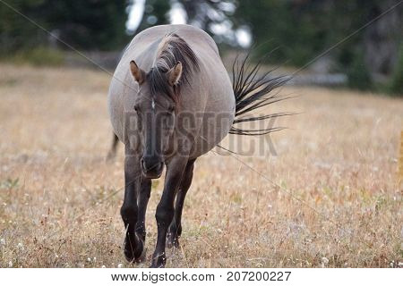 Wild Horse - Grulla Gray pregnant mare with windblown tail walking in the afternoon in the Pryor Mountains Wild Horse Range on the border of Montana and Wyoming United States