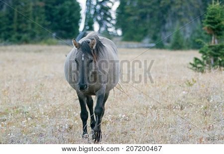 Wild Feral Horse - Grulla Gray pregnant mare walking in the afternoon in the Pryor Mountains Wild Horse Range on the border of Montana and Wyoming United States
