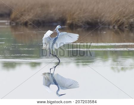 A Rare Hybrid Tricoloured Heron x Snowy Egret with reflection landing at Caroni Rice Fields Trinidad