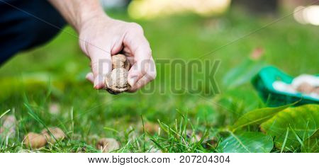 Man Collecting Walnuts In The Field