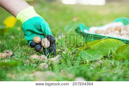 Worker Collecting Walnuts From The Grass