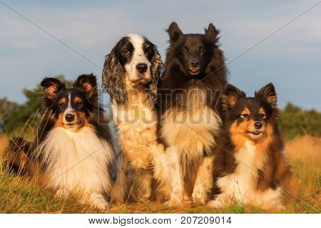 Group Portrait Of Shelties And Cocker Spaniel