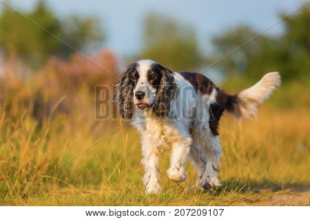Cocker Spaniel Walks On A Country Path