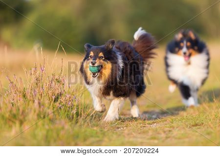 Australian Shepherd Dogs Playing On A Country Path