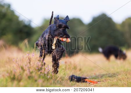 Standard Schnauzer Runs With A Treat Bag In The Snout