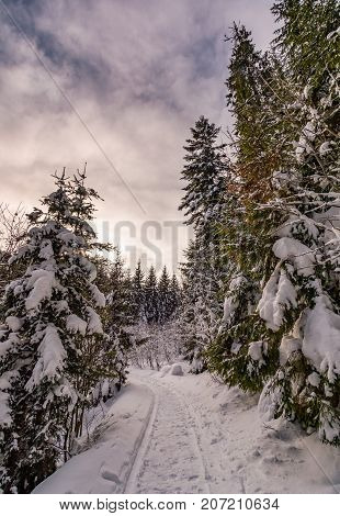 Path Through Spruce Forest In Winter