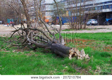 Dry fallen tree broken by a strong wind in the alley near an industrial building.