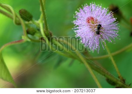 Sensitive sleepy plant flower with little bee in the garden.