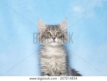 Portrait of a cute gray and white fluffy kitten looking directly at viewer. Blue background sky with wispy clouds