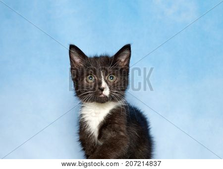 Portrait of a black and white tuxedo kitten looking directly at viewer. Blue background sky with wispy clouds.