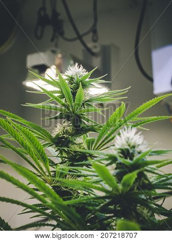 Cannabis plants forming buds with groth toward indoor lighting