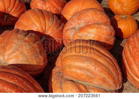 Jumbo Pumpkins for sale in Halloween on display in Northern California.