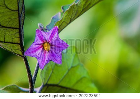 Beautiful Purple Eggplant Blossom