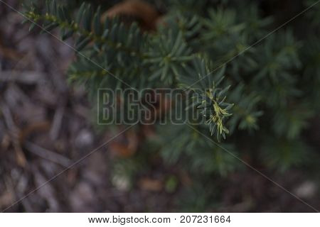 Blurred foliage of english yew taxus baccata