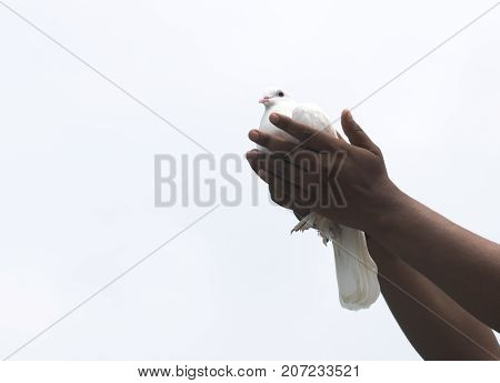 flying pigeon with hands giving freedom hope new sign of love purity peace white game race isolated on white background