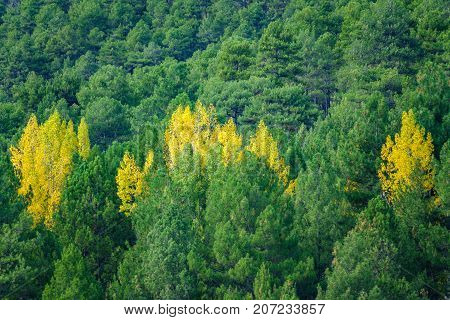 Long shot of autumn colors, green pine tree and poplar