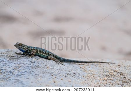 Characterized by its blue ventral Abdomen, the Western Fence Lizard is also known as the Blue Belly. Due to its blue ventral abdomen, it is also known as the Blue Belly Lizard.