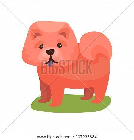Chow chow dog, purebred pet animal standing on green grass colorful vector Illustration on a white background