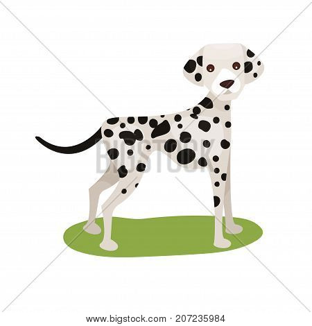 Dalmatian dog, purebred pet animal standing on green grass colorful vector Illustration on a white background