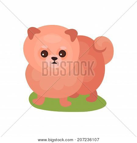 Pomeranian spitz dog, purebred pet animal standing on green grass colorful vector Illustration on a white background