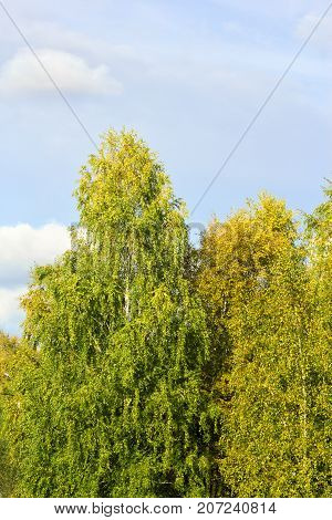 View Of A Bitch Tree With Yellow Leaves In Autumn Against Clear Blue Sky On A Sunny Day.