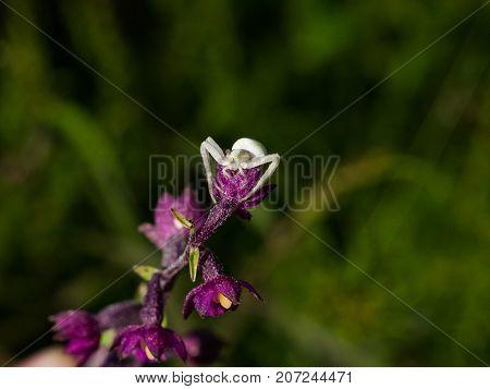 White Flower Crab spider on purple orchid macro portrait selective focus shallow DOF.