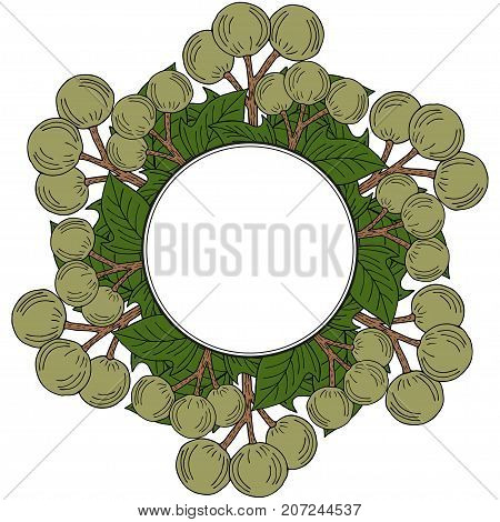 Kukui nut tree (Aleurites moluccana). Nuts, plant, berry, fruit natural organic butter ingredient. Hand drawn ink sketch illustration. Treatment, cosmetics, food ingredient. Isolated. Round frame.