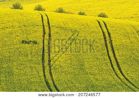 Natural Yellow Background Texture. Rapeseed field with wavy abstract landscape yellow pattern. Yellow undulating fields of Rape crops. Spring rural conola landscape in Yellow Colors. Europe Czech