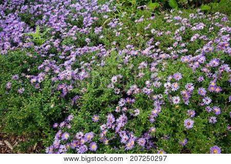 Purple Aster Background. Field of vibrant purple aster in early October.