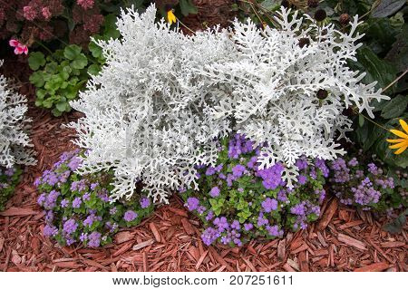 Summer Garden Annuals Background. Dusty Miller plant surrounded by colorful annuals. Dusty Miller is a hardy shade annual that is deer and pest resistant.