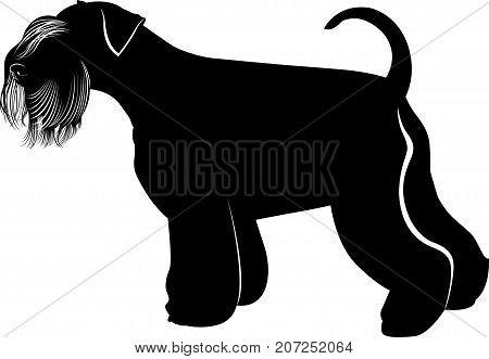 Miniature Schnauzer dogs. Portrait of a  young miniature schnauze