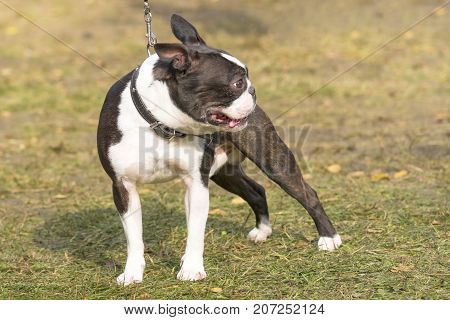 French Bulldog typical small dog fighting dog. Space under the text. 2018 year of the dog in the eastern calendar. Concept: parodist dogs, dog friend of man, true friends, rescuers.