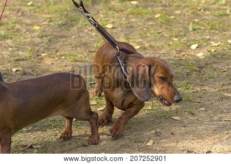 Typical Dachshund Standard Red. Space under the text. 2018 year of the dog in the eastern calendar Concept: parodist dogs, dog friend of man, true friends, rescuers.